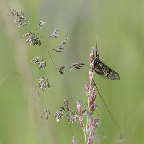 Ephémère, mouche de mai