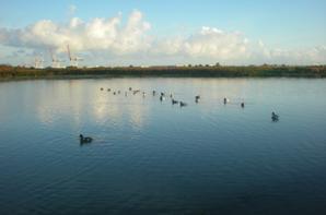 ♦La flaque et les canards