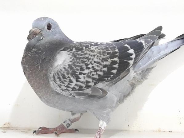 pigeonneau pour la vente de EAU