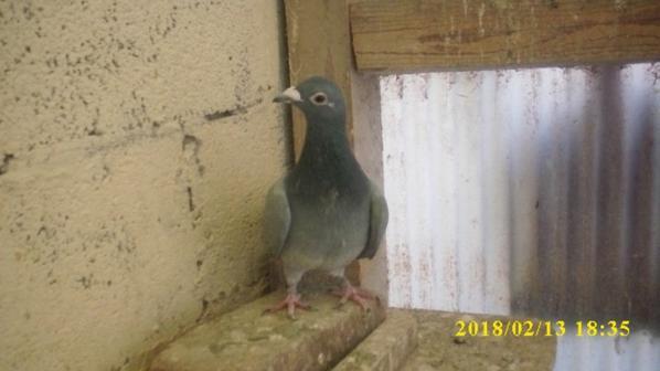 Pigeon de la vente d'etaples