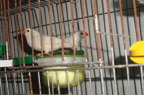 mandarin oiseau en cage