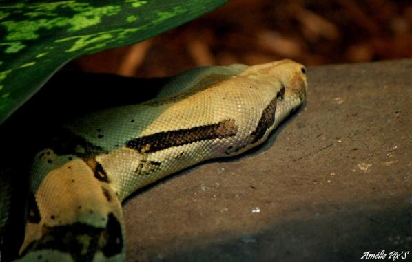 Serpent...