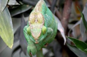 Iguane...