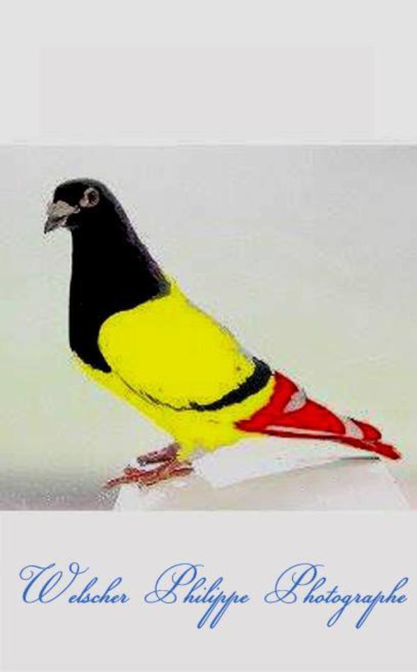 Nouvelle race de Pigeon Belge