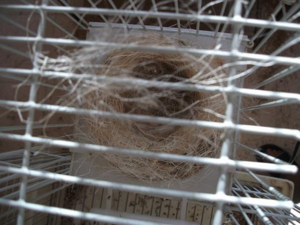 la nidification commence