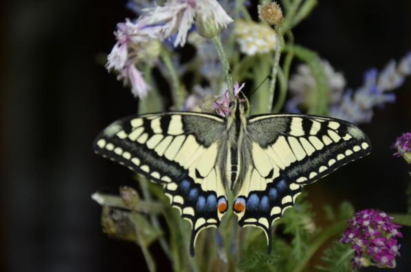 Naissance d'un  Papillon ! ^^