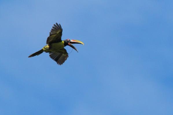 Différents toucans en vol.
