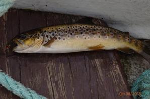 Ombre et Chevesnes à la mouche (nymphe ORL et babarotte). Truites et saumon d'Ecosse (Uist et Oban)
