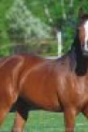 Cheval arabe baie