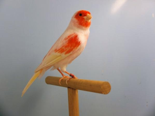 Red Clear Mosaic Male