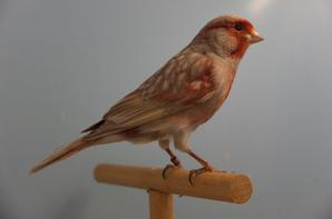 Black Red Greywing Pastel mosaïque mâle