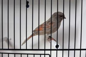 Black Greywing Red Mosaic Female