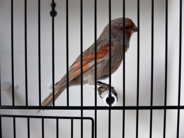Black Greywing Red Mosaic