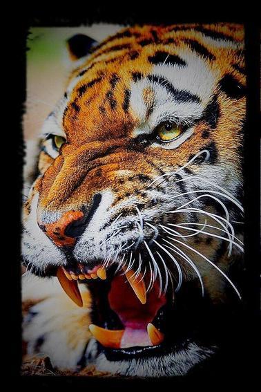 Un tigre mâle du Bengale était en captivité à la ménagerie de Schönbrunn. On le nourrissait de viande de boucherie. Mais, quand il était souffrant, on lui donnait de jeunes animaux vivants. On lui donna un jour un jeune chien en pâture. Le tigre était alors assoupi. Le chiot s'approcha du fauve et lui lécha les yeux.  Le tigre devait apprécier car il épargna l'animal et se mit, lui aussi, à le lécher.  En quelques jours, les deux animaux devinrent amis. Ils vécurent ainsi dans l'intimité la plus parfaite.