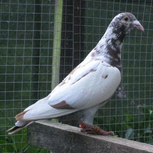 La sublimitude pigeonnifiée!