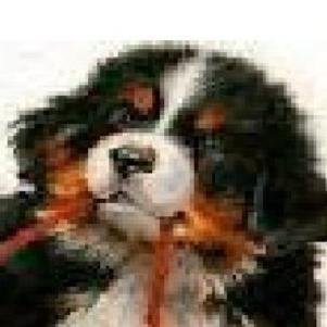Fiction sur ma chienne Bouvier Bernoise