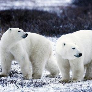Deux magnifiques ours polaires.