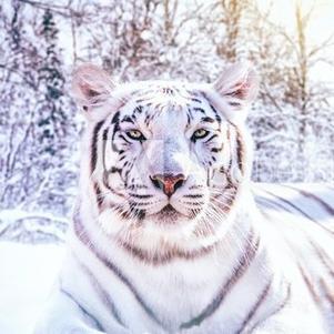 Un magnifique tigre blanc.