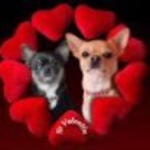 Bienvenue chez les amoureux du chihuahua