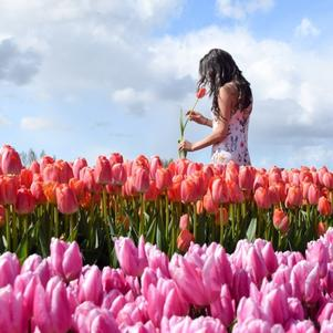 Holland/tulips