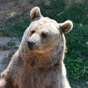 Un magnifique ours brun