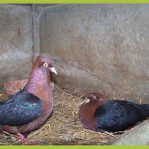 Un couple pigeon Bouvreuil
