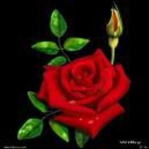 Rose d'amour rose de toujours!