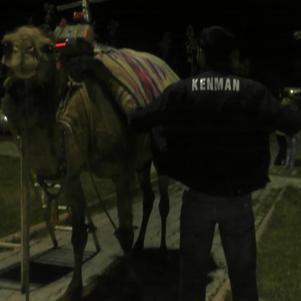 jé mème un chameau dans ma cour
