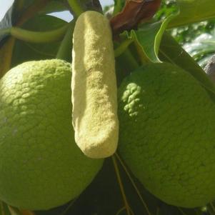 se sont des fruit