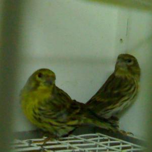 pareja de verdecillos 2011