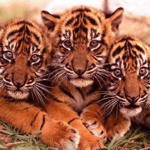 jen suis une tigresse