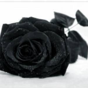BLACKxROSE