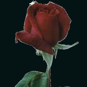 UN£   ROS£      ======>    l AMOUR