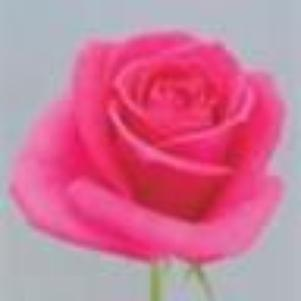 Love is as tall rock of Roses of mountain into deep Red Sea