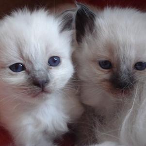 chatons  de Shalabi, portée mars 2008