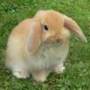 le lapin cro bo