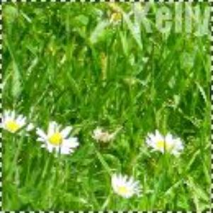 Petite marguerites, image by Kelly's Production ©.