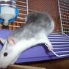 rat-domestique-I