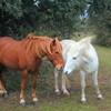 cheval-chantant2
