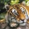 pauline-tigresse