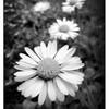 p0t-de-fleur