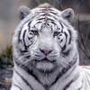 le-tigre-83