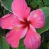 hibiscustahiti