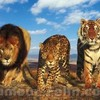tigre-lion15