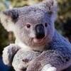 koala95560