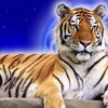 tigre60250