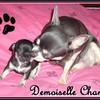 chanel-chihuahua