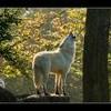 laminwolf