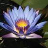 Ze-Lotus-Bleu-Carnivore