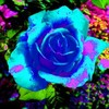 paradis-des-roses